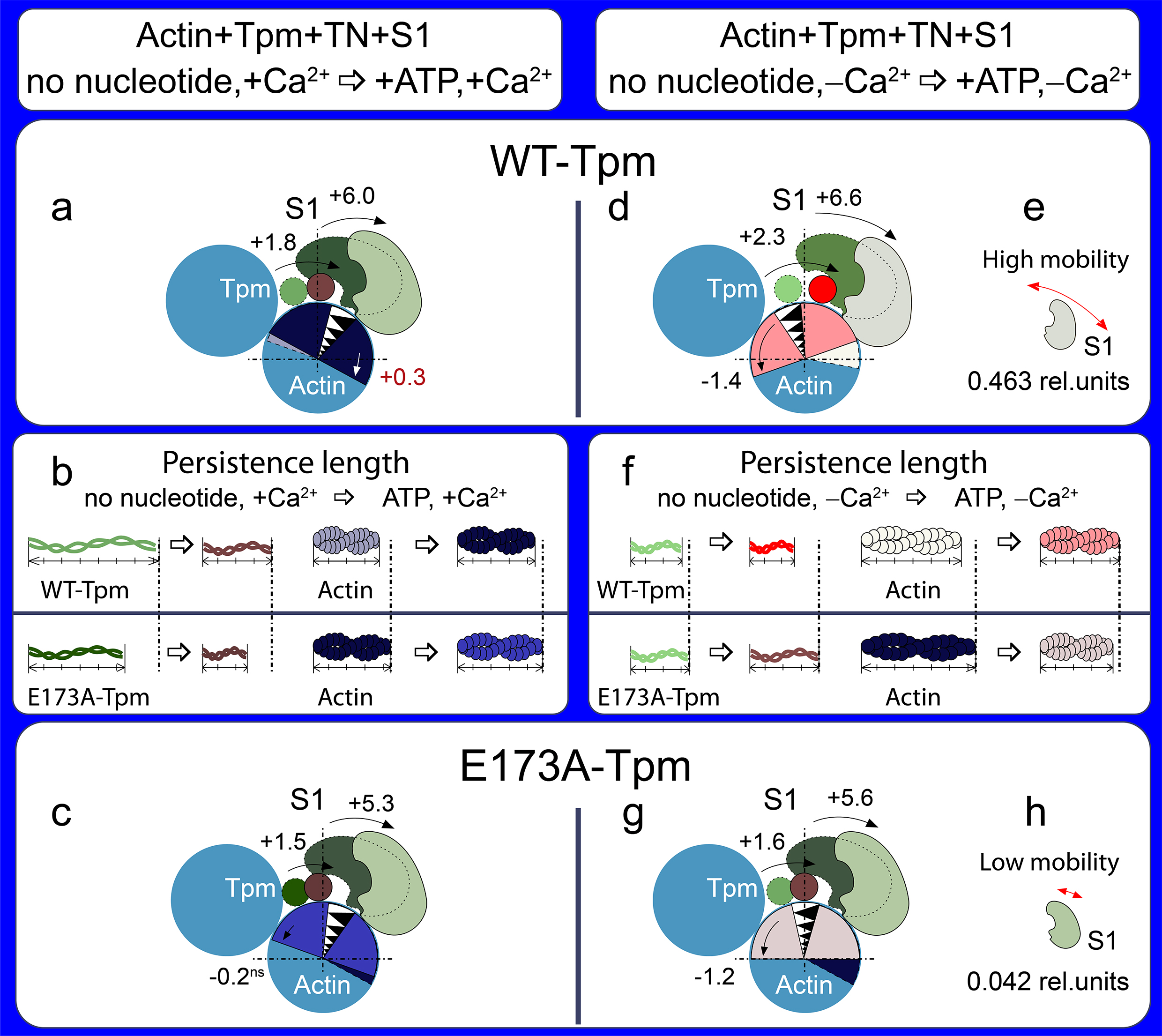 A schematic view of the changes in tropomyosin localization and spatial rearrangements of actin and S1 due to the E173A mutation in tropomyosin