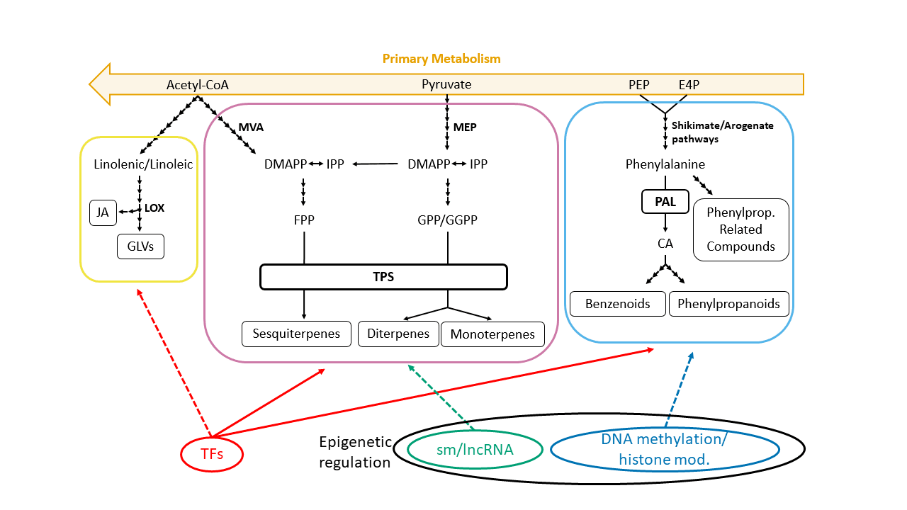 Main VOCs' biosynthetic routes and their epigenetic and transcriptional regulation.