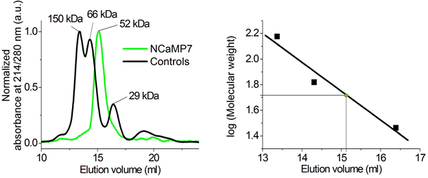 Figure S14. Fast protein liquid chromatography of NCaMP7. NCaMP7 (1.7 mg/ml) was eluted in 40 mM Tris-HCl (pH 7.5) and 200 mM NaCl buffer supplemented with 5 mM CaCl2. The molecular weight of NCaMP7 was determined from a linear regression of the dependence of logarithm of control molecular weights vs elution volume.