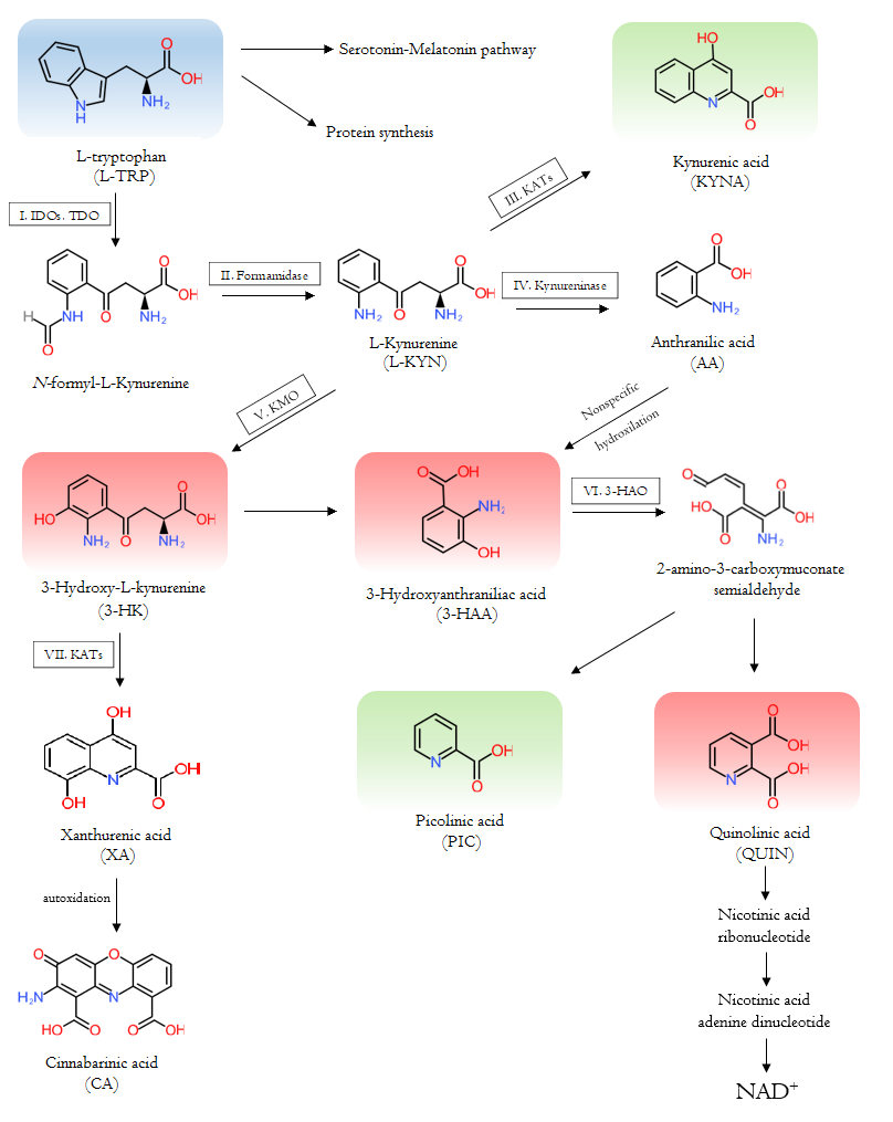 The Tryptophan-kynurenine metabolic pathway and the metabolites.
