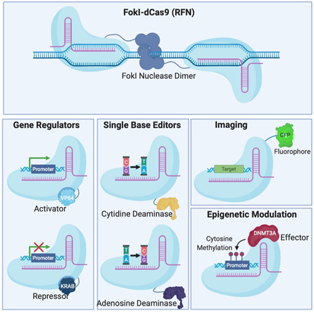Different Clustered Regularly Interspaced Short Pallindromic Repeats (CRISPR)-Cas systems and deficient CRISPR-associated (dCas) platforms used in gene editing and other types of applications