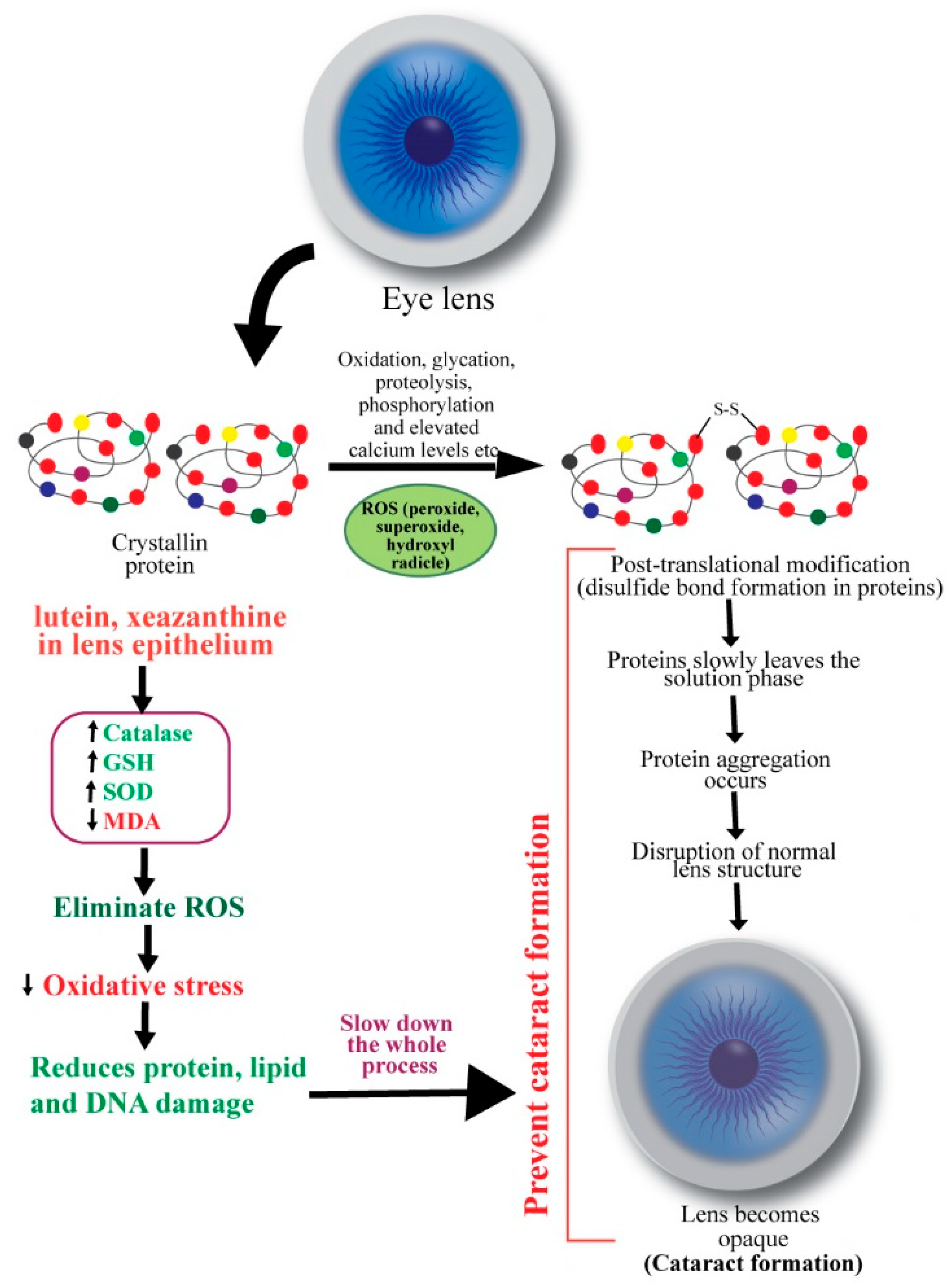 Schematic diagram showing the mechanisms of action of carotenoids to prevent cataract. ROS: reactive oxygen species.