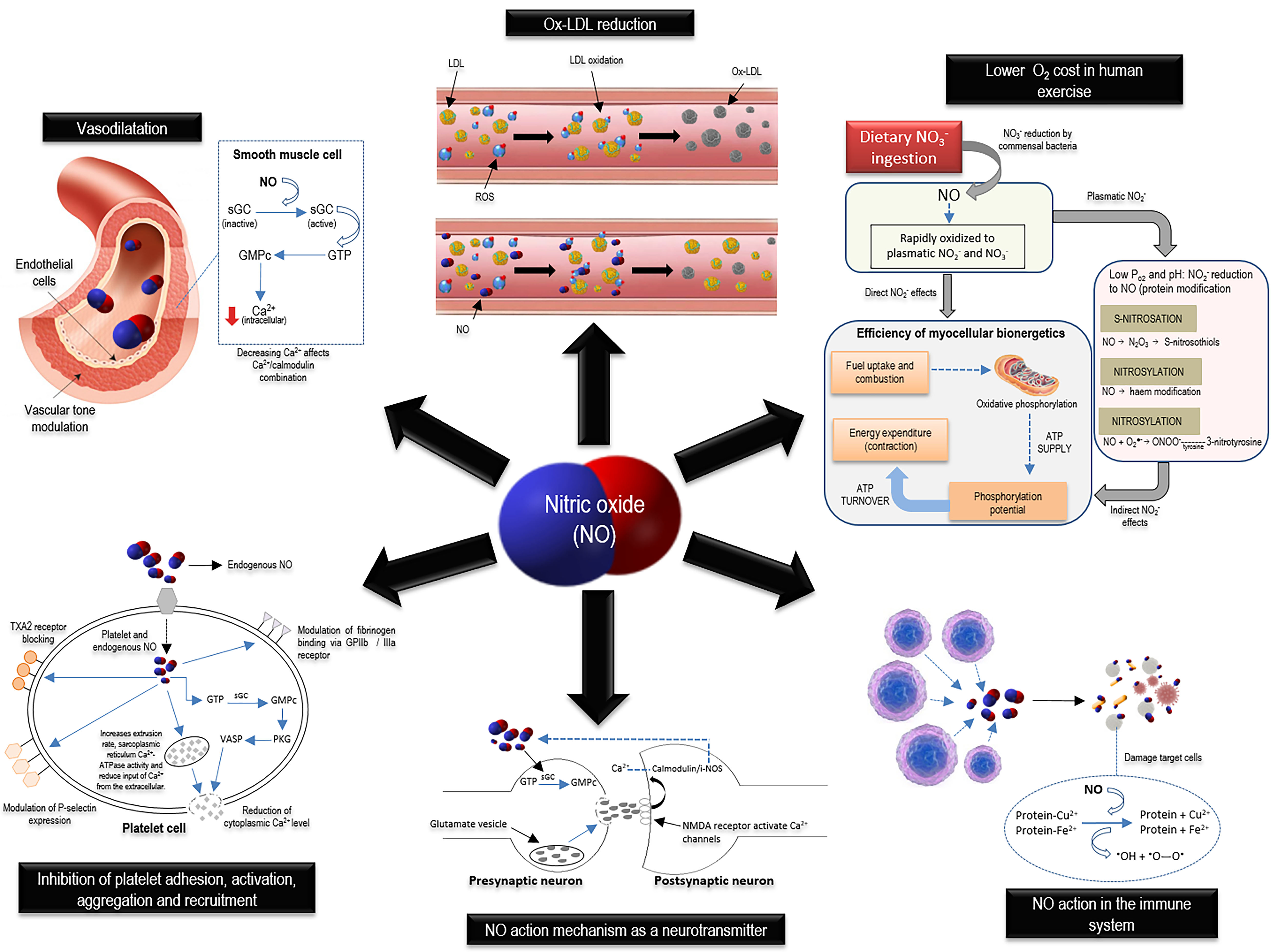 Figure 3. Physiological role of nitric oxide in smooth muscle tissue vascular tone maintenance, synaptic transmission, cellular defense, hemostatic-thrombotic balance, and mitochondrial function. ATP, adenosine triphosphate; ATPase, adenosine triphosphatase; Ca2+, calcium; Cu2+, copper; Fe2+, ferrous iron; GMPc, guanosine monophosphate cyclic; GPIIb, glycoprotein IIb; GPIIIa, glycoprotein IIIa; GTP, guanosine-5'-triphosphate; iNOS, inducible nitric oxide synthase; LDL, low-density lipoprotein; N2O3, dinitrogen trioxide; NMDA, N-methyl-D-aspartate; NO, nitric oxide; NO2-, nitrite; NO3-, nitrate; O2, oxygen; ONOO-, peroxynitrite; Ox-LDL, oxidized low-density lipoprotein; PKG, protein kinase G; PO2, pressure of oxygen; ROS, reactive oxygen species; sGC, soluble guanylate cyclase; TXA2, thromboxane A2; VASP, vasodilator-stimulated phosphoprotein.