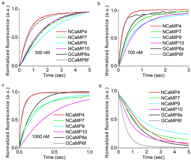 Figure S15. Calcium-association and -dissociation kinetics for the NCaMP7 indicator, its variants, GCaMP6s and GCaMP6f investigated using stopped-flow fluorimetry. (a)-(c) Calcium-association kinetics curves for given GECIs were recorded at 300, 700 and 1000 nM Ca2+-free final concentration. (d) Calcium-dissociation kinetics for respective GECIs was recorded at 1000 nM Ca2+-free starting concentration. Three replicates were averaged for analysis.
