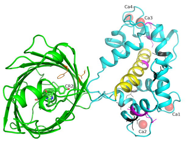 Figure S4. Overview of the mutations found during mutagenesis of NCaMPs on the crystal structure of the NCaMP7 indicator (PDB ID - 6XW2). Cartoon representation of NCaMP7 crystal structure with mutations in fluorescent domain close to the chromophore (within 6Å, in orange), common mutation in CaM and M13-peptide calcium-binding domain (in magenta) and mutations unique to each of NCaMPs (in black).